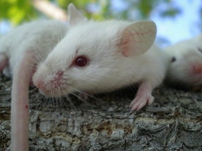 Three white Siamese mice are laying on a tree branch. The middle mouse is looking at the tail of the mouse to its left. The mouse on the right is looking forward.