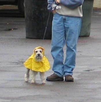 A white Miniature Schnauzer is wearing a yellow raincoat standing on a walkway and there is a person in blue jeans standing next to it.