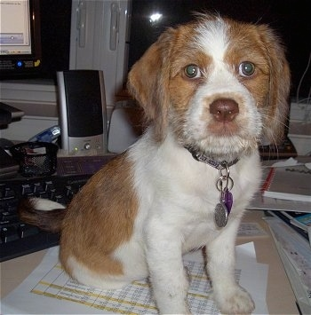 Close up front view - A wiry looking, tan with white Beagle/Saint Bernard/Bassett Hound/Shih-Tzu mix breed puppy is sitting on a table with a bunch of office material behind it.