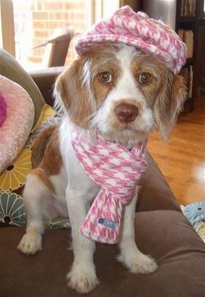 A wiry-looking, tan with white Beagle/Saint Bernard/Bassett Hound/Shih-Tzu mix breed puppy is sitting on a couch and it is looking forward. It is wearing a pink with white scarf and hat.