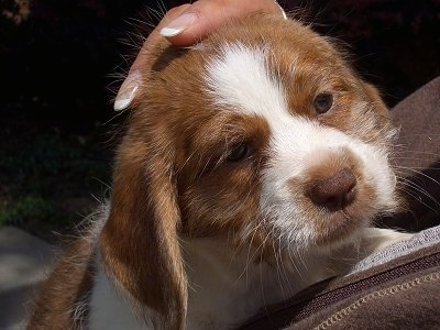 Close Up head shot - A wiry-looking, tan with white Beagle/Saint Bernard/Bassett Hound/Shih-Tzu mix breed puppy is laying against a person and looking up.