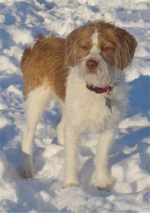 Front view - A wet, scruffy looking, tan with white Beagle/Saint Bernard/Bassett Hound/Shih-Tzu mix breed dog is standing in snow and it is looking forward.