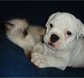 A white Miniature Australian Bulldog puppy is laying on a couch with a tan and brown seal point Siamese kitten next to it.