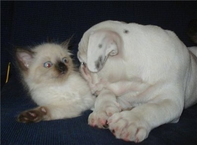 A white Miniature Australian Bulldog puppy is laying on a couch  with its head on top of a Siamese kitten. The kitten looks alert.