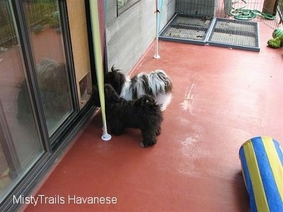 Two dogs are standing in front of a doggy door on a deck.