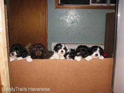 Litter of Havanese Puppies being house trained using the Misty Method