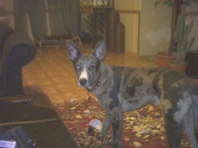 Los Angeles Louisiana Catahoula Leopard Dog Dogs for Sale | Los