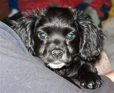 Close up head and front paw shot - A shiny-coated, black with white Chihuahua/Cocker Spaniel mix puppy is laying in the arm of a person. It has longer hair on its ears.