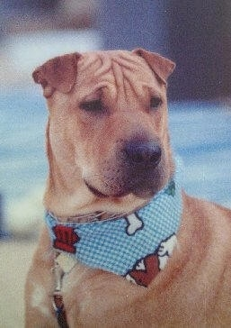 Close up head and upper body shot - A brown Shar-Pei/Labrador mix is looking to the right wearing a blue bandana. The dog has a blocky head, wrinkles on its forhead and very small triangular ears that fold to the front.