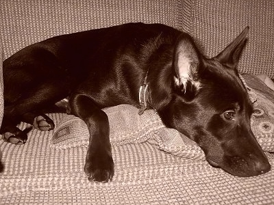 A black and white photo of a black German Sheprador laying on a couch.