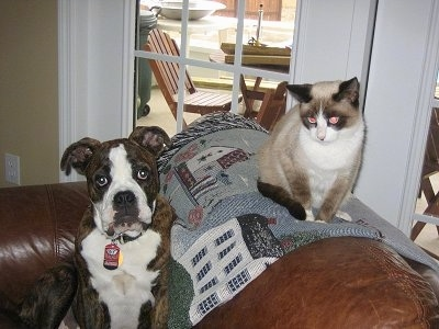 A brown brindle with white Olde English Bulldogge puppy is sitting in an arm chair that has a cat sitting on the back of it on top of a throw blanket that has a white house on it.