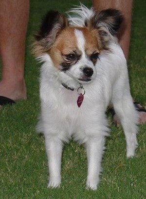 Front view - A white with red and black Papillon is standing in grass looking to the right. There is a person in sandels standing behind it.