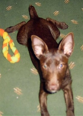 A chocolate Patterdale Terrier puppy is laying stretched out on a green carpet looking forward next to an orange, yellow and green rope toy that is to the left of it.