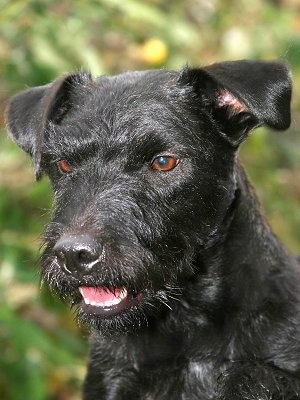 Close up head shot - A shiny black Patterland Terrier is sitting outside looking down and to the left with its mouth slightly open. It has copper brown eyes.