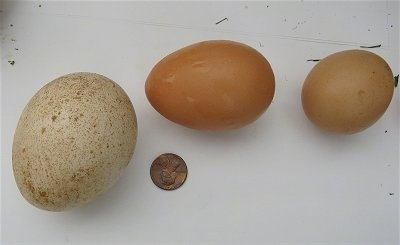 A Peafowl egg next to a medium and a small chicken egg. A penny is next to the eggs for a size comparison.