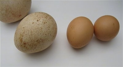 A Peafowl egg is laying next to a smaller Chicken Eggs