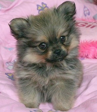 Front view - A fluffy black with tan Peek-A-Pom puppy is laying on a pink blanket with its head slightly tilted to the left looking forward. It looks like a stuffed toy.