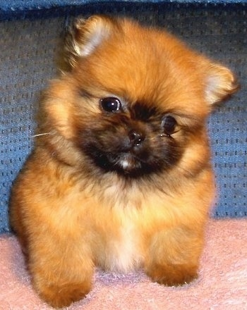 Front view - A soft-looking, fluffy tan and black with white Peek-A-Pom puppy sitting on a fuzzy pink pillow looking forward with its head tilted to the right. The dog has small triangle shaped ears and looks like a stuffed toy.