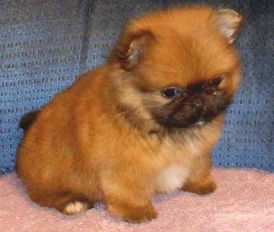 Front side view - A soft-looking, fluffy tan and black with white Peek-A-Pom puppy sitting on a fuzzy pink pillow on top of a blue couch. The puppy is looking down over the edge of the couch. It looks like a soft stuffed toy.
