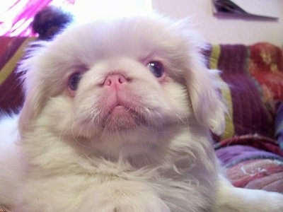 Close up head and upper body shot - An albino Pekingese puppy is laying on a bed and it is looking forward. Its pink nose is pushed back far into its face.