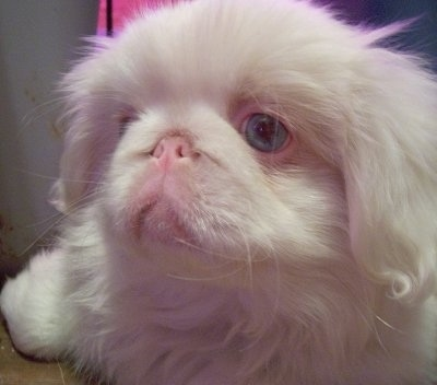 Close up head shot - An albino Pekingese puppy is laying on a carpet and it is looking to the left. Its pink nose is pushed back far into is head and its eyes are blue.