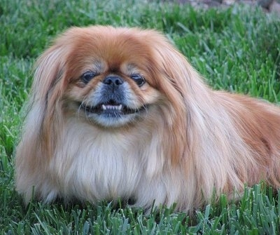 Close up front side view - A longhaired tan with white Pekingese dog is laying in grass and it is looking forward. It looks like it is smiling. Its bottom teeth are showing.