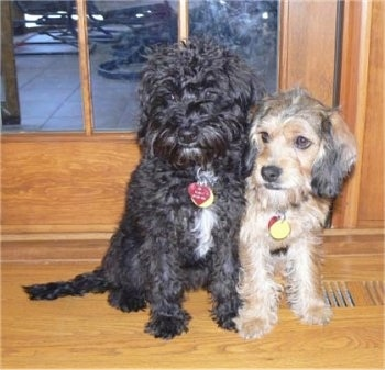 Two medium-sized dogs sitting side by side on a hardwood floor in front of a glass door looking to the left - A wavy-coated, black with white Petite Labradoodle dog is sitting next to a wiry-looking, drop-eared, tan with black and white Petite Labradoodle.
