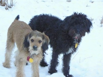 Front side view of two dogs standing in snow looking up at the camera with snow on their faces - A wavy-coated, black with white Petite Labradoodle dog is standing next to a tan with black and white Petite Labradoodle.