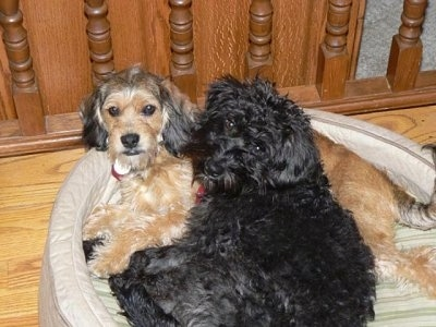 A black with white Petite Labradoodle dog is laying next to a tan with black and white Petite Labradoodle in a dog bed. They both are looking up.