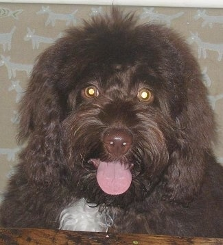 Close up head shot - A dark brown with white Petite Labradoodle dog is laying on a wooden surface and it is looking over the edge. Its mouth is open and tongue is out.