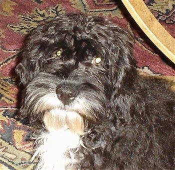 Head and upper body shot - A shaggy, dark brown with white Petite Labradoodle dog is sitting on a red oriental rug in front of a coffee table and looking forward.