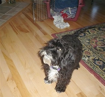 Front side view - A wavy coated, dark brown with white Petite Labradoodle puppy is standing on a hardwood floor looking up to the left. There is a dog crate behind it. The dog has a beard.
