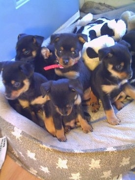 A litter of small Pineranian puppies are sitting in a dog bed and they are looking over the edge.