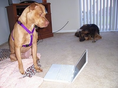 The front right side of a red American Pit Bull Terrier that is sitting in front of and looking down at a laptop. Behind it is a German Shepherd that is laying down on a carpet.