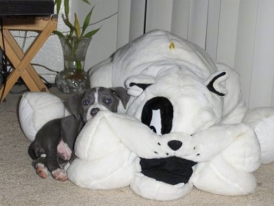 The right side of a gray with white American Pitbull Terrier Puppy that is laying on a big stuffed dog.