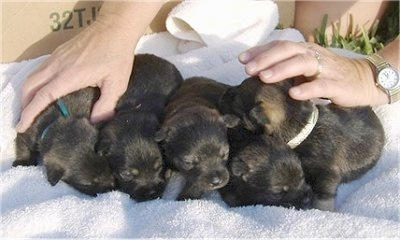 A litter of 5 black and brown Pom-A-Nauze puppies are lined up on a white towel and there is a lady with her hands on the two pups at the ends.