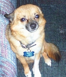 Bruiser is a Pom-Chi, shown here at 6 years old