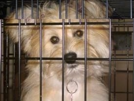 Close up head shot - A longhaired, tan with white Pom-Coton dog is sitting in a dog crate looking forward. Its head is slightly tilted to the left.