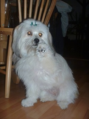 A longhaired, white with black Pomapoo is sitting on a hardwood floor and looking forward. It has its right paw in the air.