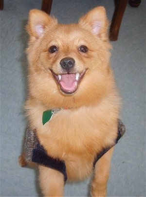 A fuzzy apricot Pomchi dog is standing on its hind legs on a carpet and it is wearing a vest.
