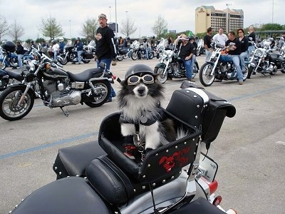 A black and white Pomeranian is sitting in the basket of a motorcycle. It is wearing motorcycle goggles and a helmet. There are lots of people with Harley Davidson motorcycles behind it.