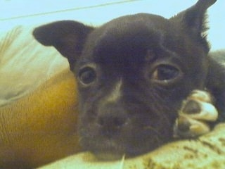 Close up head shot - A black with white Pomston puppy is laying down on a yellow couch looking forward.