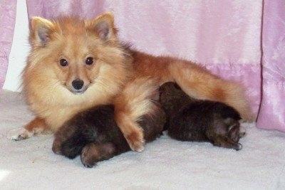 KiKi, the Poshies with her 4 week old puppies