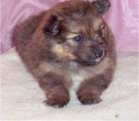 Koda, a female 4 week old F1b hybrid Poshies puppy (Poshies / Pom mix)