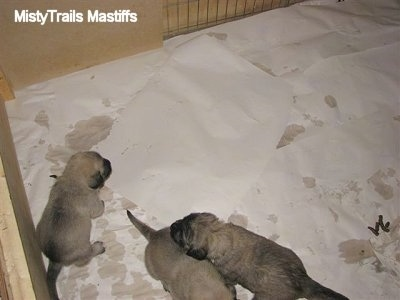 Puppies moving around the Potty Area