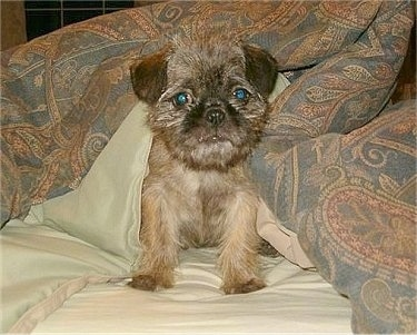 Front view - A brindle Pug-Zu puppy is sitting on a bed and a blanket is over its back and it is looking forward. Its face looks like an Ewok.
