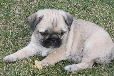 The left side of a tan with black and white Pug-Zu puppy is laying in grass looking forward. The pup has wrinkles on its head and a lot of extra skin.