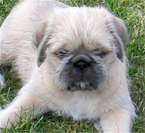 Close up front view - A fuzzy looking tan with black and white Pug-Zu puppy is laying in grass looking up.