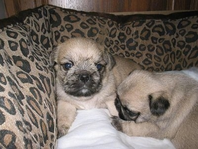 Two tan with black Pug-Zu puppies are laying in a leopard print dog bed.