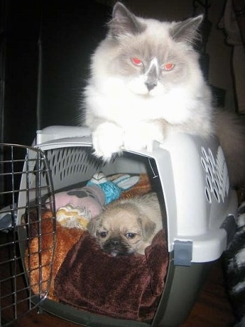 Jules, the Ragdoll Cat with Rubi the Pug-Zu hybrid (Pug / Shih Tzu mix) at 7 weeks old